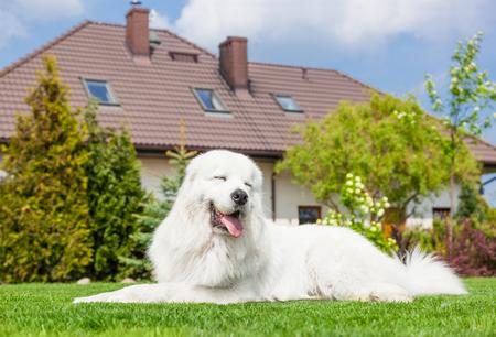 guard house: Big guard dog resting in front of the house. Polish Tatra Sheepdog also known as Podhalan or Owczarek Podhalanski Stock Photo