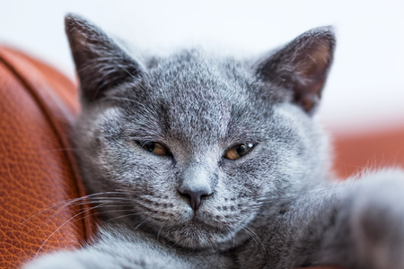 pedigreed: Young cute cat portrait close-up. The British Shorthair pedigreed kitten with blue gray fur