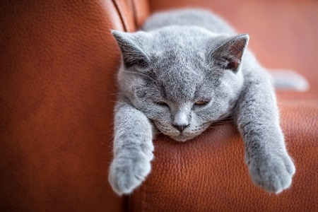 pedigreed: Young cute cat resting on leather sofa. The British Shorthair pedigreed kitten with blue gray fur