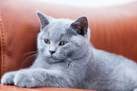 blue leather sofa: Young cute cat resting on leather sofa. The British Shorthair pedigreed kitten with blue gray fur