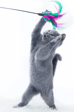 pedigreed: Young cute cat playing with a stick toy. The British Shorthair pedigreed kitten with blue gray fur