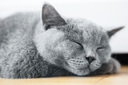 pedigreed: Young cute cat sleeping on wooden floor. The British Shorthair pedigreed kitten with blue gray fur