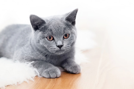 british shorthair: Young cute cat playing on wooden floor. The British Shorthair pedigreed kitten with blue gray fur