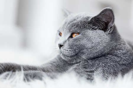pedigreed: Young cute cat close-up portrait. The British Shorthair pedigreed kitten with blue gray fur Stock Photo