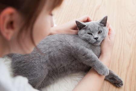 playful: Woman stroke her car. The British Shorthair pedigreed kitten with blue gray fur Stock Photo
