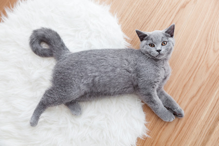 Young cute cat playing on white fur. The British Shorthair pedigreed kitten with blue gray fur