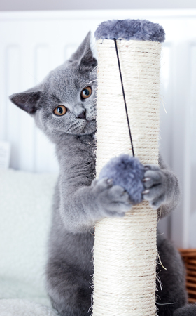 scratcher: Young cute cat scratching his claws on a scratcher. The British Shorthair pedigreed kitten with blue gray fur