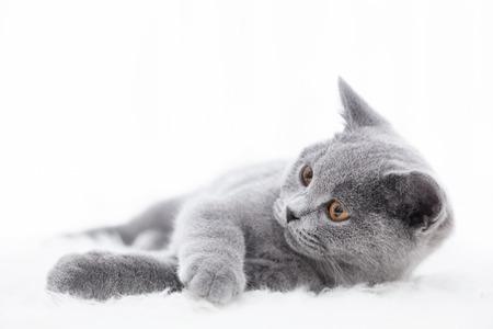 lindo gato joven que juega en la piel blanca. El gatito pedigrí Británico de Pelo Corto con la piel gris azul