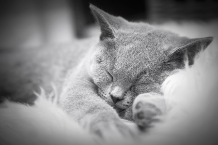 pedigreed: Young cute cat resting on white fur. The British Shorthair pedigreed kitten with blue gray fur Stock Photo