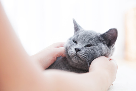 pedigreed: Young cute cat enjoys having fun with his human friend. The British Shorthair pedigreed kitten with blue gray fur