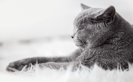 pedigreed: Young cute cat sleeping on cosy white fur. The British Shorthair pedigreed kitten with blue gray fur Stock Photo