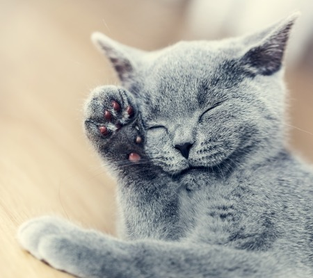 pedigreed: Young cute cat washing his fur. The British Shorthair pedigreed kitten with blue gray fur Stock Photo