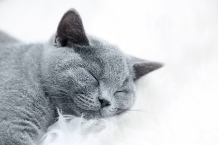Young cute cat resting on white fur. The British Shorthair pedigreed kitten with blue gray fur Stock Photo