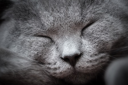 blissfully: Face close-up of a young cute cat sleeping blissfully with cute smile. The British Shorthair pedigreed kitten with blue gray fur