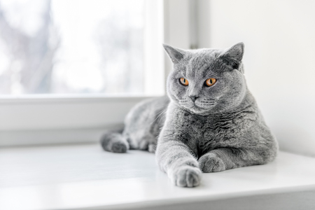 Noble proud cat lying on window sill. The British Shorthair with blue gray fur