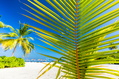 tropical tree: Green palm tree on tropical beach in Maldives. Indian Ocean.