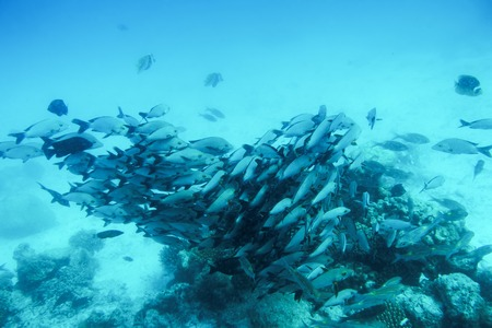 turquoise water: School of fish fish in Indian Ocean, Maldives. Tropical clear turquoise water