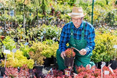 Senior gardener selecting a plant in a nursery. Gardening concept.