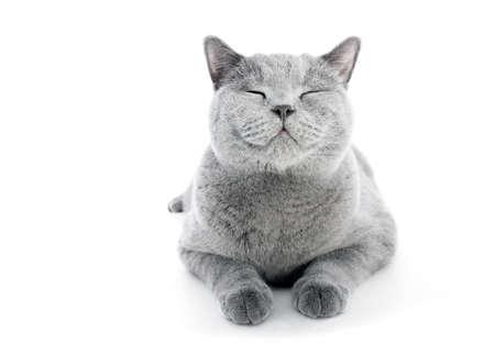 Chat britannique à poil court isolé sur blanc. Expression souriante, heureuse Banque d'images - 84723644