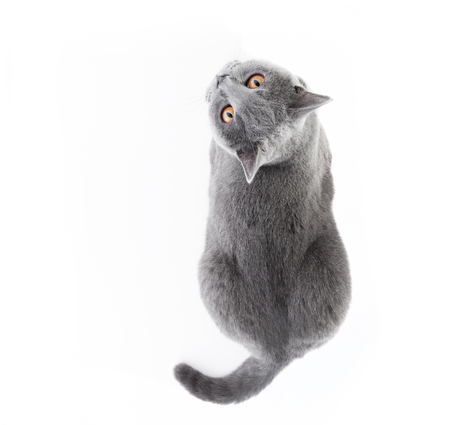 British Shorthair cat isolated on white. Lying, top view 스톡 콘텐츠