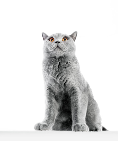 British Shorthair cat isolated on white. Sitting confident, wide angle