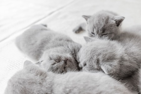 Little adorable young cats laying and snuggling together. British shorthair.