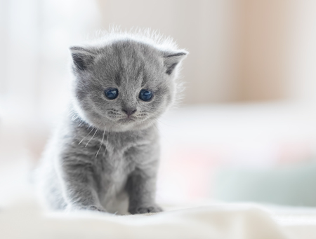 gray: Cute kitten sitting on bed in home. British Shorthair cat. Stock Photo