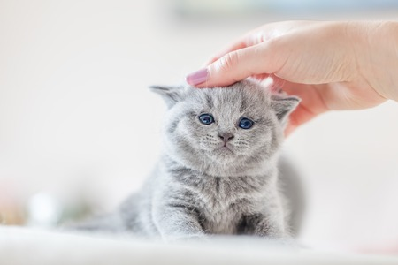 Cute kitten loves being stroked by womans hand. British Shorthair cat.