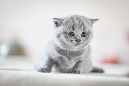 Cute kitten sitting on bed in home. British Shorthair cat. Stock Photo