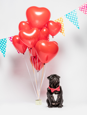 Black pug dog in a red bowtie sitting next to a bunch of red heart-shaped baloons and colorful dotted garlands. Stock fotó