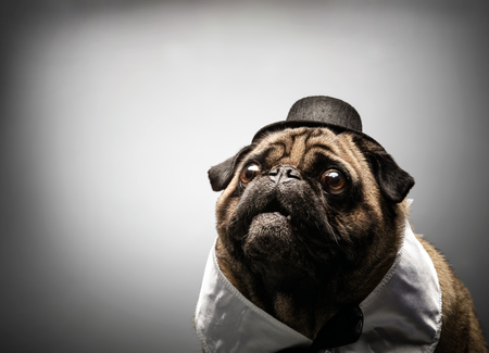 Cute little pug dog looking up, curious and interested, wearing white collar and black hat.