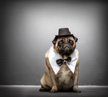 Fawn pug in a black hat, white collar and black bowtie, sitting on a ground, looking at the camera.