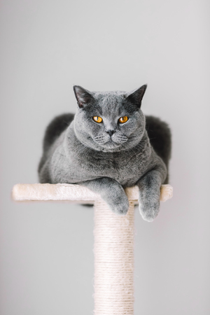 Majestic grey cat laying on the top of the scratcher. Purebred British shorthair.