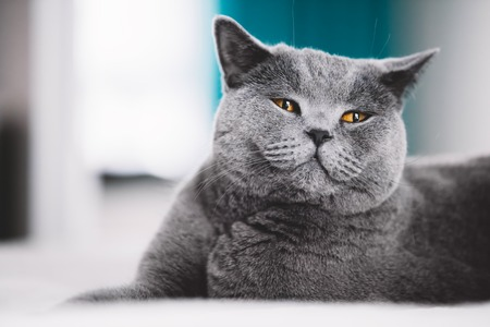 Grey British shorthair cat laying on a bed, making a funny face. Purebred animal.