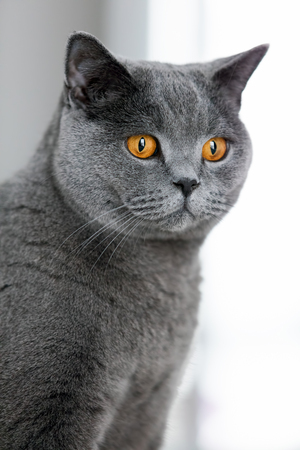 Grey british shorthair cat staring in the space. Domestic purebred animals. Portrait. Stock Photo