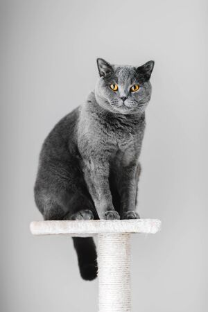 Majestic grey purebred cat sitting on the top of the scratcher. Domestic life of animals.
