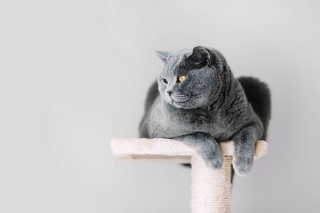 Grey furry cat laying on the top of the scratcher, looking aside. Domestic animal. British shorthair.