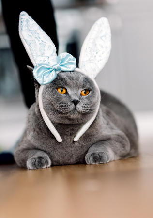 Grey cat with cute bunny-like headband, laying on the floor. Easter cat. Funny animals. Stock Photo