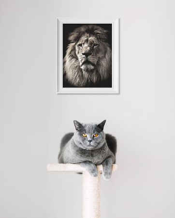 British Shorthair cat and lion portrait above. Dreaming about distant cousin