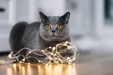 Grey British Shorthair cat playing with a string of lights on the floor. Domestic animal. Stock Photo