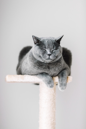 Purebred British shorthair cat laying on the scratcher with his eyes closed. Domestic animal.