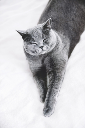 Grey British shorthair cat laying on a white bedding. Domestic animals. Stock Photo