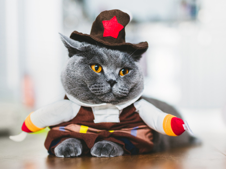 Purebred cat wearing a funny costume, laying on the table. British shorthair. Halloween and carnival.
