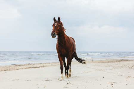 Lonely bay horse trotting on the beach by the sea. Majestic animals.