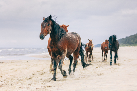 A herd of horses walking on the windy seashore. Wild horses. Animals and nature.