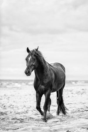 Brown horse walking by the sea on the sandy beach. Wild horse. Black and white photography.