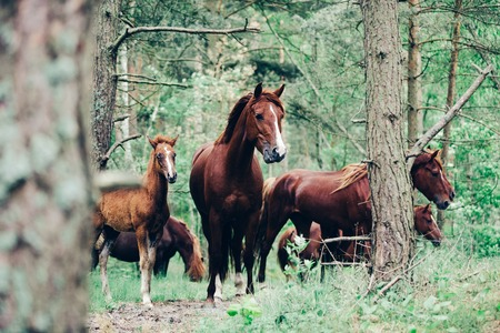 A herd of brown horses walking in the green forest. Wild horses. Nature and animals.