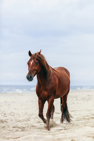 Brown horse walking by the sea on the sandy beach. Wild horse.