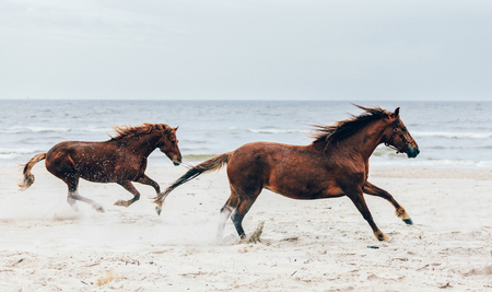 Two brown horses running fast on the seashore. Galopade. Freedom and wildness.
