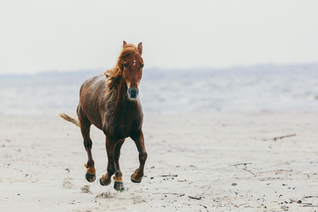 Lonely brown horse stepping on the sandy beach. Animals and nature. Stock Photo